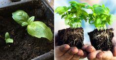 En kruka basilika från mataffären kan räcka hela sommaren. Så här gör du många, många fler plantor av den du köper.