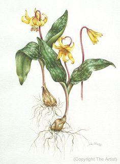 botanical illustration trout lily artist Jfrain