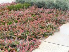 """Adenanthos cuneatus """"Coral Carpet"""" pbr Flat spreading ground cover with attractive pink new foliage growing high x across Small insignificant red flowers all year Full sun (for best foliage colour) Honey eater attracting Sand, coastal sand Landscaping With Rocks, Backyard Landscaping, Porches, Hampton Garden, Australian Native Garden, Ground Cover Plants, Coral, Wonderful Flowers, Types Of Soil"""