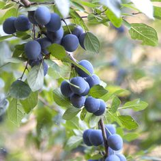 Buy blackthorn - tall years old bare root hedging) Prunus spinosa - Perfect for making sloe gin hic.: 25 plants: Delivery by Crocus Woodland Plants, Woodland Fairy, Prunus, Back Gardens, Planting Seeds, Hedges, Home And Garden, Fruit, How To Make