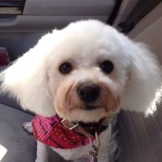 Bichon with the same haircut Benny has gotten in the past. Cute!