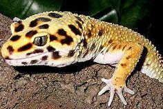 Das Buch der Natur: Reptilien - Echsen Leopardengecko