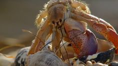 A line of hermit crabs, self-arranged from smallest to largest, ready and waiting to exchange their shells in this BBC clip from Life Story. Hermit Crab Shells, Hermit Crabs, Big Shell, Buy A Boat, David Attenborough, Under The Sea, Habitats, Sea Shells, Cute Animals
