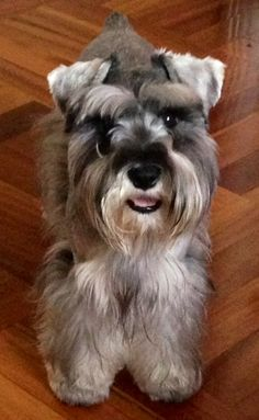 Amy a darling mini schnauzer**
