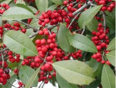 The American Holly is the state tree of Delaware. It was adopted by Delaware in 1939.