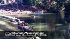 Charlotte Lake and Pond Management. 704-816-0526 Charlotte 864-381-7663 Greenville and Asheville Platinum Ponds and Lake Management #pondmanagement Algae, aquatic weeds, chara, curly leaf pondweed, hydrilla/ elodea, naiad, bladderwort, coontail, sage pondweed, american pondweed, cattails, duckweed, southeastern pond management, south east pond management, fish pond management, farm pond management, lake pond management, large pond management, pond maintenance
