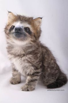 What Happens When You Mix a Kitten and a Sloth? SLITTENS!