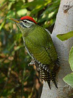 Scaly-bellied Green Woodpecker, photo by Zahoor-Salmi on flickr