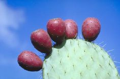 The fruit and pads of the prickly pear cactus, or nopal, have been available in American markets for some time, and have become familiar to aficionados of Mexican food. In recent years another cactus fruit has begun to make its way north as well. Prickly Pear Juice, Prickly Pear Cactus, Red Cactus, Cactus Flower, Flower Bookey, Flower Film, Flower Pots, Flowers, Opuntia Cactus