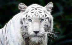 Download wallpapers white tiger, art, predators, Panthera Tigris Tigris, White Bengal Tiger