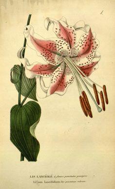 Tiger Lily - Lilium lancifolium - circa 1817