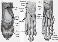 Anatomy Of Canine Paw . Anatomy Of Canine Paw . Rabbit Anatomy, Dog Anatomy, Animal Anatomy, Muscle Anatomy, Anatomy Study, Anatomy Drawing, Anatomy Reference, Drawing Reference, All About Wolves