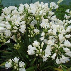 Plante Jasmin, Geranium Vivace, Yucca, Comment Planter, Plantation, Collection, White Gardens, Small Gardens, Perennial Plant