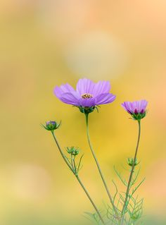 Cosmos by Dave B on 500px