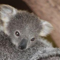 Koala, Zoo de Beauval - Loire Valley - France