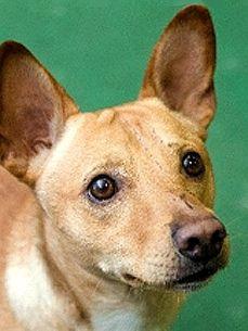 Part Basenji Part Terrier Mix Puppies Pinterest