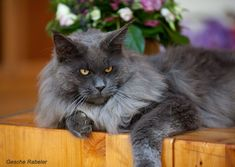 Maine coon, Maine coon cats and Maine on Pinterest  Maine coon, Mai...