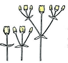 inflorescence 2 indicator species pinterest plants and botany. Black Bedroom Furniture Sets. Home Design Ideas