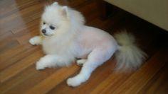 Gracie Marie white Pomeranian lion cut...