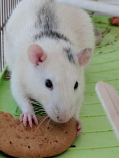 Archie enjoying his favourite treat! #aww #cute #rat #cuterats #ratsofpinterest #cuddle #fluffy #animals #pets #bestfriend #ittssofluffy #boopthesnoot