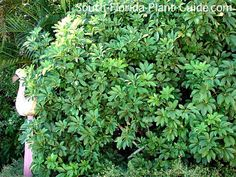 "Green arboricola - or ""dwarf schefflera,"" as it's often called - has a lush tropical look, yet this hardy shrub only requires a minimum amount of care. Read all about it!"
