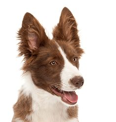 See only the cutest & most adorable pictures of border collie puppy dogs right here . More puppy pics are added almost daily for your enjoyment . Puppy Pictures, Cute Pictures, Border Collie Pictures, Border Collie Puppies, 5 Month Olds, Puppy Breeds, Animals And Pets, Dogs And Puppies, Corgi