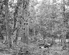 Bullet-Ridden Trees on Gettysburg Battlefield -  Very interesting pictorial of the bullet-battered trees at Culp's Hill on the Battlefield of Gettysburg, Pennsylvania.    -  Library of Congress ,1863