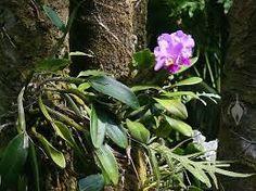 orchid cattleya jungle - Google Search