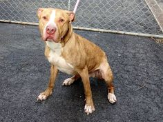 TO BE DESTROYED 2/4/14 Manhattan Ctr CHARLIE A0934313 Neutered male y brindle & wht pit mix 5YRS OWN SUR 1/31/14 Adopted from ACC 2 yrs. ago, painfully thin, feeding to regain wt. Pulls on leash, sits on command. Comes when called & likes to be pet. Sad away from family. Lived w/ adults & dogs, good w/ kids & people. Friendly, affectionate, playful. House & crate trained,brings leash for walk. Needs loving care. SUCH POTENTIAL!!! He's longing for a forever loving home of his own!