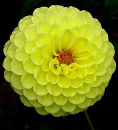 Yellow Dahlia ~ Melo Yellow.... by Rose Landry