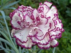 Carnation (Dianthus Caryophyllus)  Slovenia Dianthus Flowers, Flowers Perennials, Planting Flowers, Flowering Plants, Purple Flowers, Beautiful Flowers, Dianthus Caryophyllus, Purple Flower Arrangements, Long Blooming Perennials