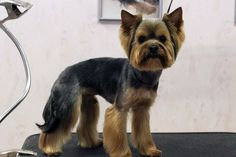 Here are some images that you can get idea about Yorkie Hairstyles or Yorkie Haircuts. As a Toy dog miniature yorkshire terrier can dress up with beautiful Yorkshire Terriers, Miniature Yorkshire Terrier, Yorkshire Terrier Haircut, Shitzu Puppies, Yorkie Puppy, Tiny Puppies, Yorkie Cuts, Yorkie Haircuts, Yorky