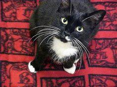 love tuxedo cats