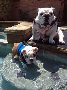 Bulldogs in life jackets. When I imagine my future family vacations. Tiny Puppies, Bulldog Puppies, Animals And Pets, Baby Animals, Cute Animals, Life Jackets, Cute Bulldogs, Bully Dog, English Bulldogs
