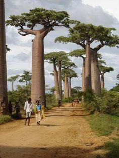 Baobab ... My favourite tree
