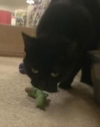 Sheena is an adoptable Domestic Short Hair Cat in Swartz Creek, MI.  Sheena PetSmart- Grand Blanc- Sheena is 1 yr old, littertrained, and is very good with other cats & dogs & kids. She is very fri... Swartz Creek, Paws Rescue, Short Hair Cats, Dogs And Kids, Dog Cat, Adoption, Pets, Animals, Foster Care Adoption
