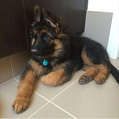GSD Puppy with the paw curled under...GSD trait