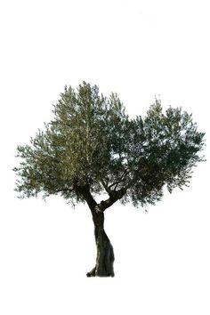 Best Olive Tree Garden Old Ideas Tree Render, Pallet Tree Houses, Tree Psd, Olive Plant, Simple Tree Tattoo, Birch Tree Decor, Tree Photoshop, Birch Tree Wedding, Cone Christmas Trees