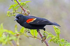 digitalmarbles posted a photo:  A male Red-winged Blackbird at the George C. Reifel Migratory Bird Sanctuary Delta BC Canada