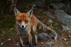 Baby Fox In Need Of Help Boldly Approaches A Trucker On The Side Of The Road - Page 18 of 20 - Natural Healthy Living Animal Fact File, Animal Facts For Kids, Fun Facts About Animals, Fox Pictures, Rustic Pictures, Water Deer, Fox Images, Extinct Animals, Red Fox