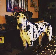 Charlie ❤️ Adorable Animals, Animals Beautiful, Dog Things, Gentle Giant, Puppy Love, Doggies, Oakley, Dog Breeds, Giraffe