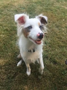 BLUE-Super smart, high energy deaf 8 mo. old is an adoptable Australian Shepherd searching for a forever family near Seattle, WA. Use Petfinder to find adoptable pets in your area.