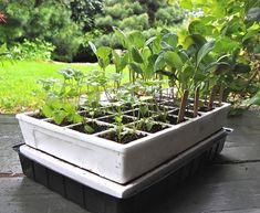 Why vegetable seedlings stretch and get spindly - and how to prevent it.