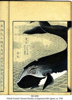 reginasworld: Illustration from Nittoh Guiofu: Gensen Kanda, On Japanese Fish, manuscript in Chinese and Japanese on paper, Japan, ca. 1760....
