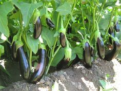 You can read our short and original article about eggplant growing. Growing Gardens, Growing Herbs, Growing Vegetables, Fruits And Vegetables, Garden Planters, Garden Art, Plant Breeding, Exotic Fruit, Vegetable Garden