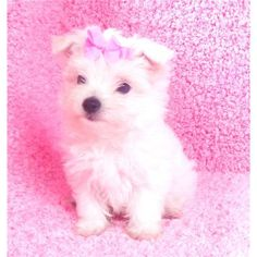 Dogs classifieds: T-CUP MALTESE PUPPIES NOW READY - United States