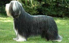 Bearded Collie - Records dating to the 16th century show that Polish Lowland Sheepdogs were brought into Scotland and crossed with local farm collies to create the Bearded Collie.