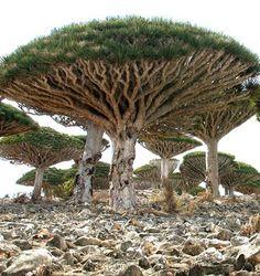 socotra, yeman