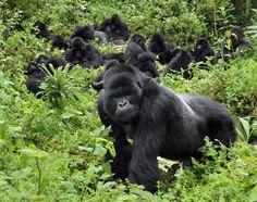 Rwanda, to see the Silverback Gorilla!