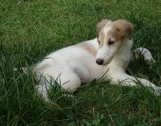 Borzoi Dog Info, Mixes, Temperament, Training, Puppies, Pictures Puppy Images, Puppy Pictures, Dog Photos, Borzoi Puppy, Russian Wolfhound, Hound Puppies, Training Your Puppy, Dog Breeds, Terrier